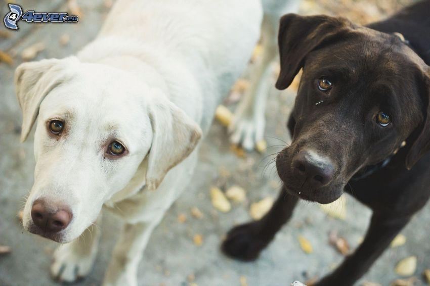 deux chiens, tristesse