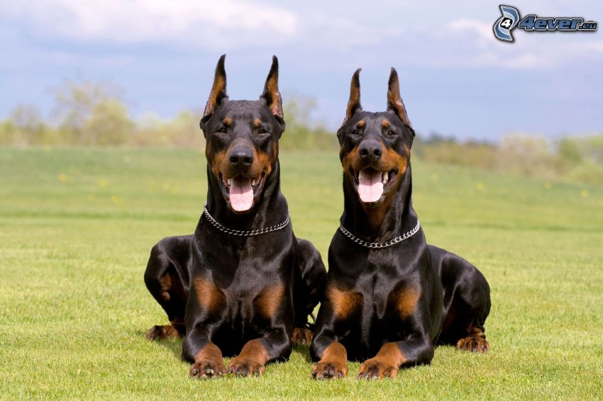 dobermann, langue tiré