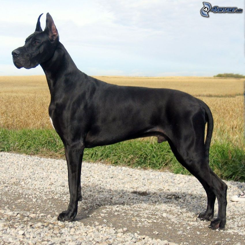 Dogue allemand, champ