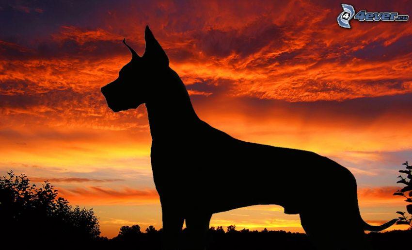 Dogue allemand, silhouette, ciel du soir