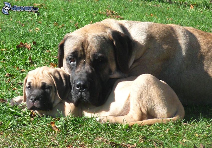 English mastiff, chiot