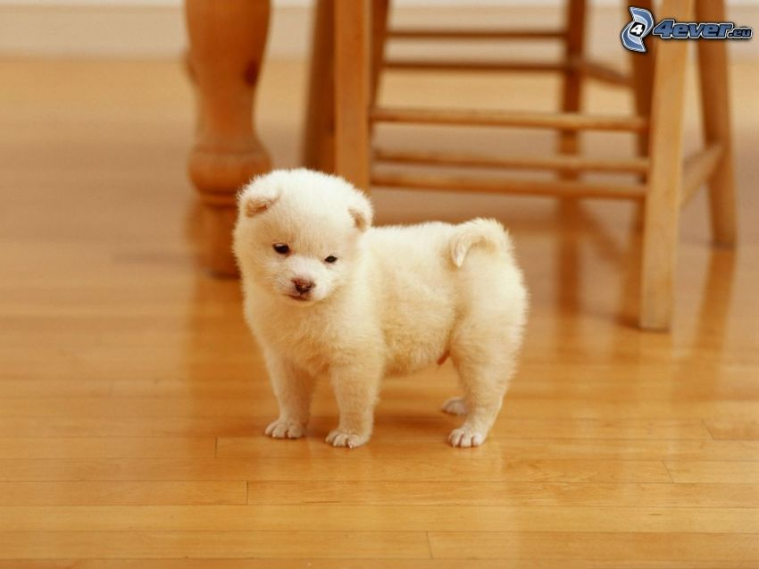 petit chiot blanc, plancher, chaise