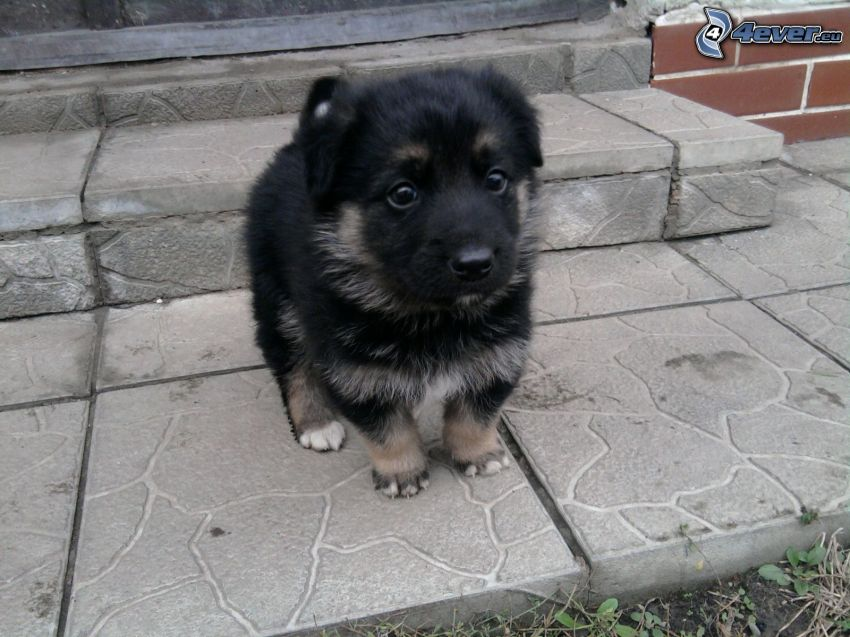 petit chiot noir, le chien dans l'escalier