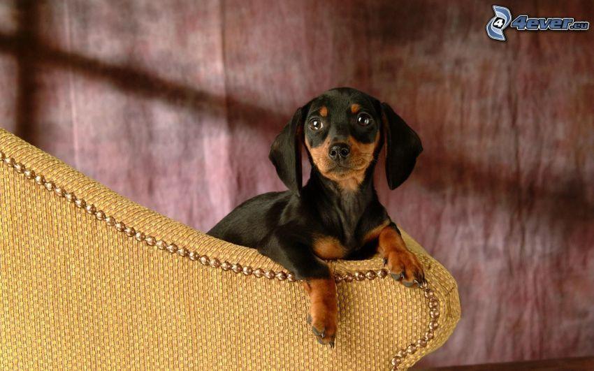 petit chiot noir, teckel sur le divan
