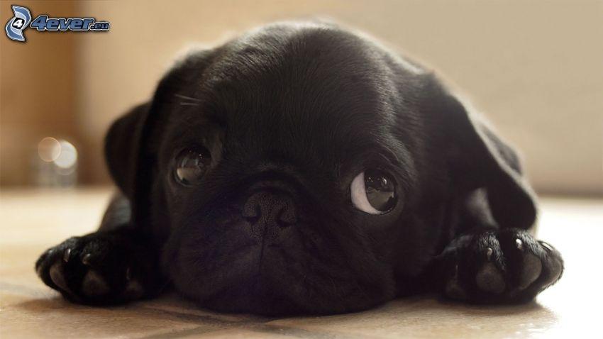 petit chiot noir