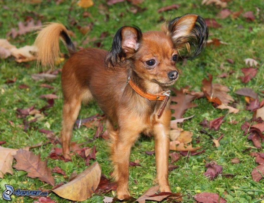 Pinscher nain, les feuilles d'automne