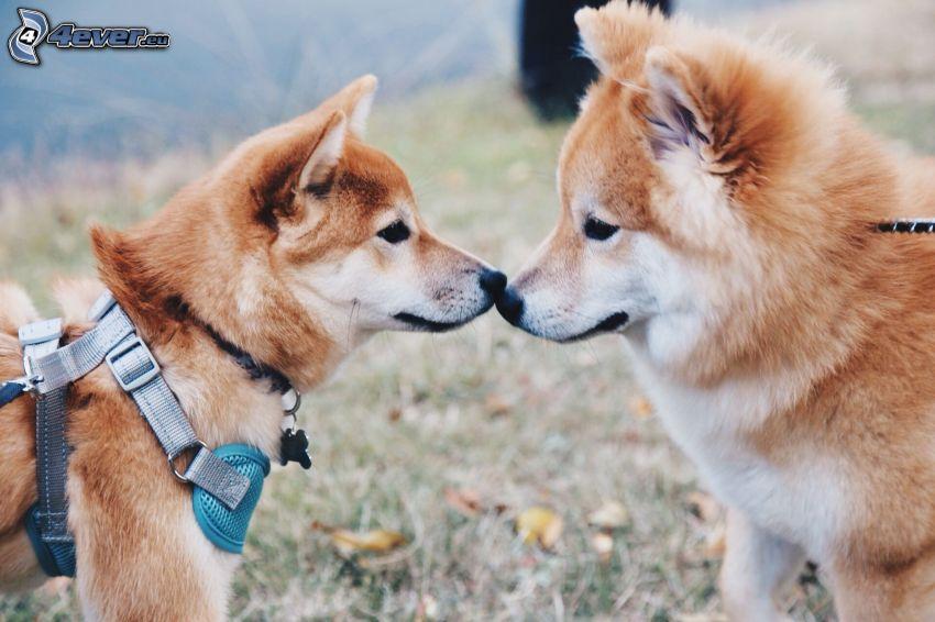 Shiba-inu, baiser