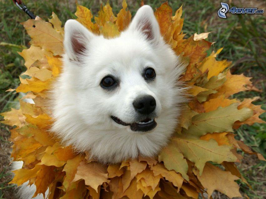 spitz, les feuilles d'automne