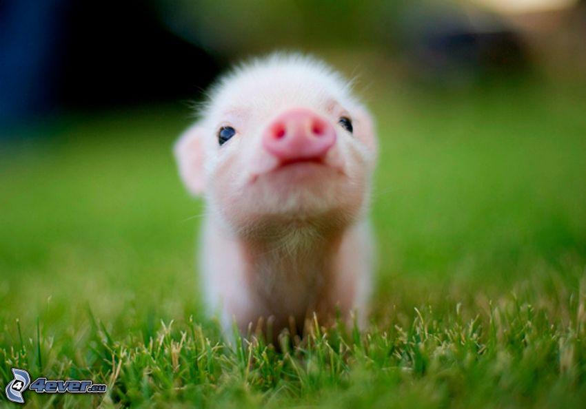 cochon, pelouse