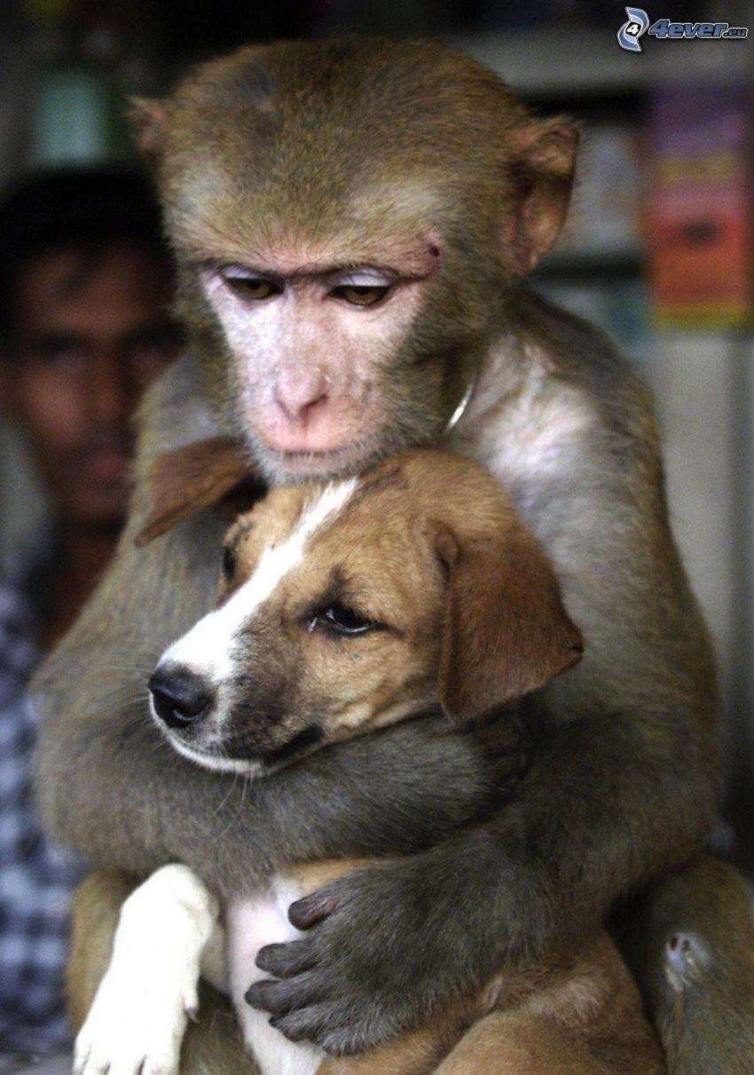 étreinte, singe, chiot beagle