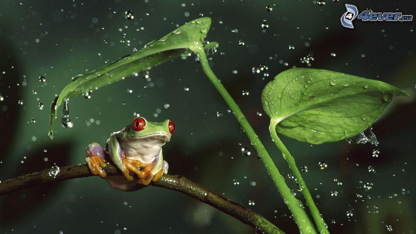 grenouille, feuilles vertes, gouttes d'eau