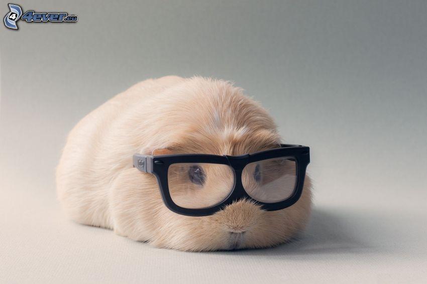 guinée porc, lunettes