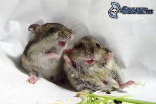 hamsters, rongeur, joie