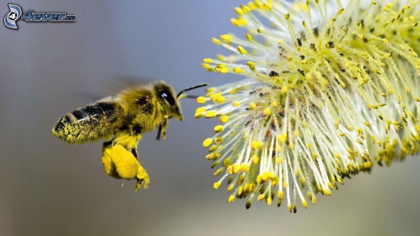 abeille, fleur, macro