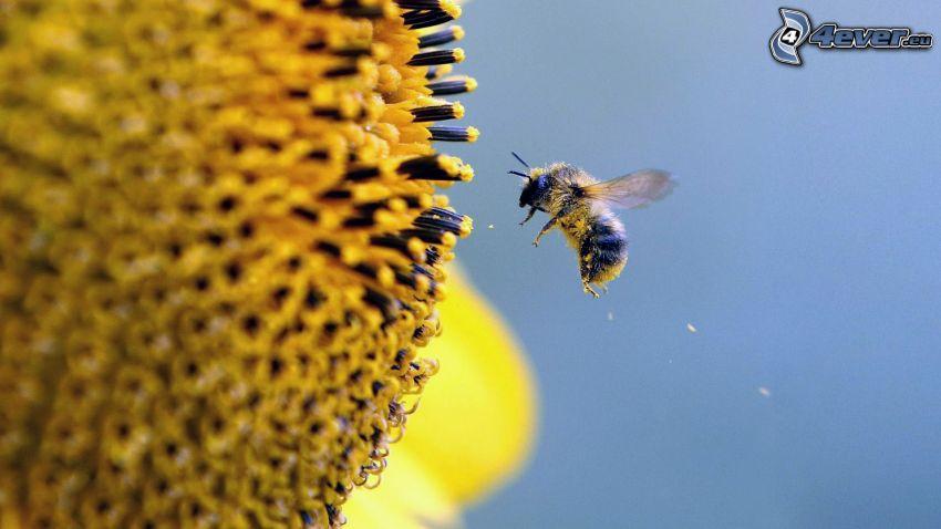 abeille, fleur