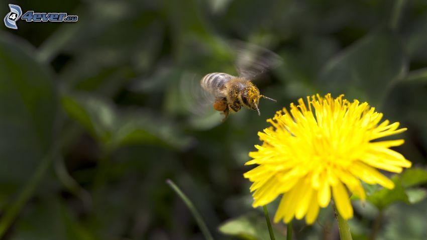 abeille, pissenlit