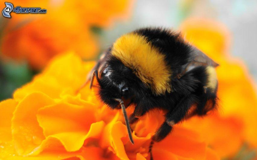 abeille sur une fleur, fleur orange, macro