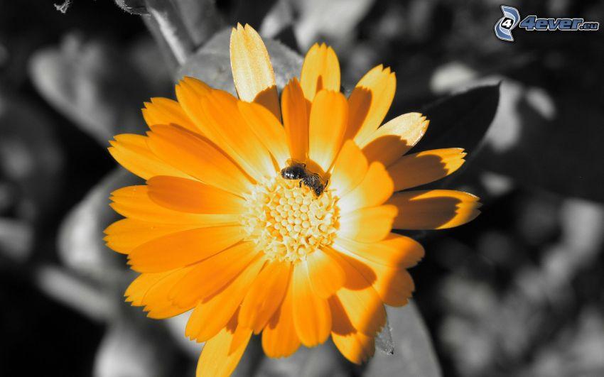 abeille sur une fleur, fleur orange