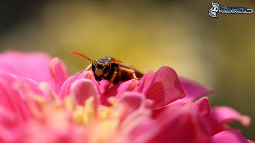 abeille sur une fleur, fleur rose