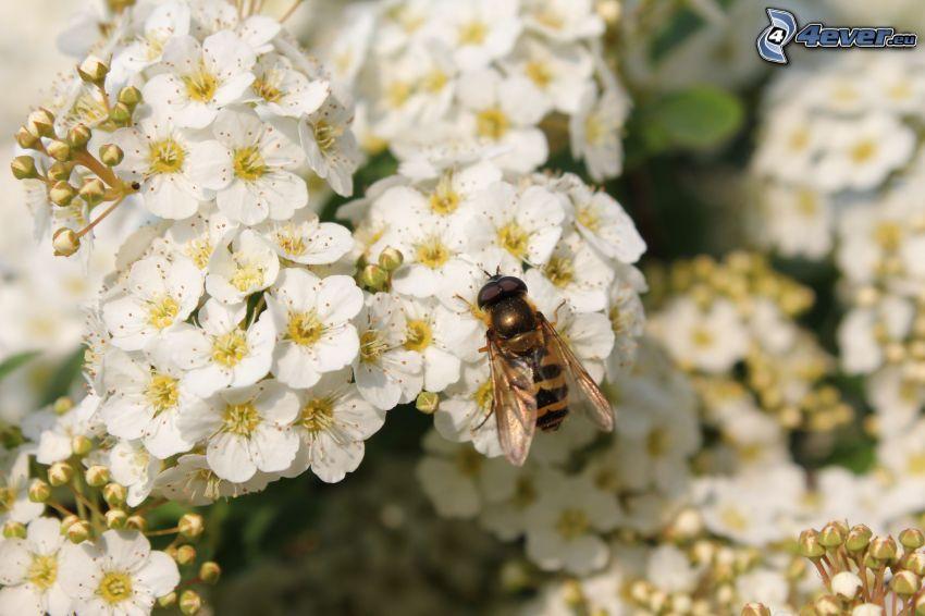 abeille sur une fleur, fleurs blanches