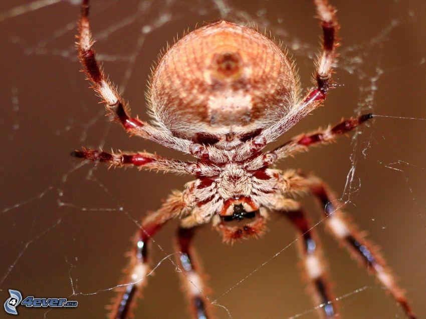 araignée, toile d'araignée