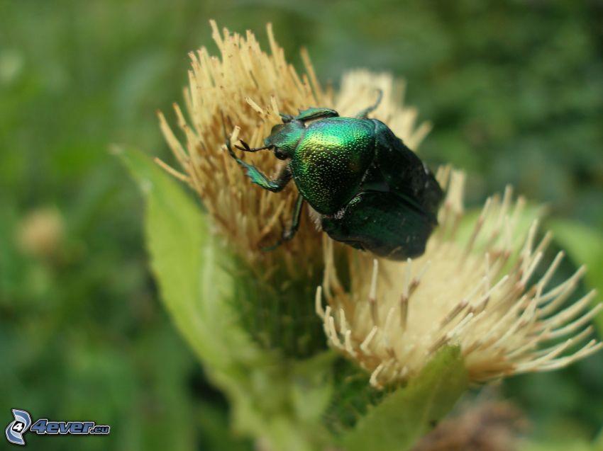 coléoptère, fleur, insectes, nature
