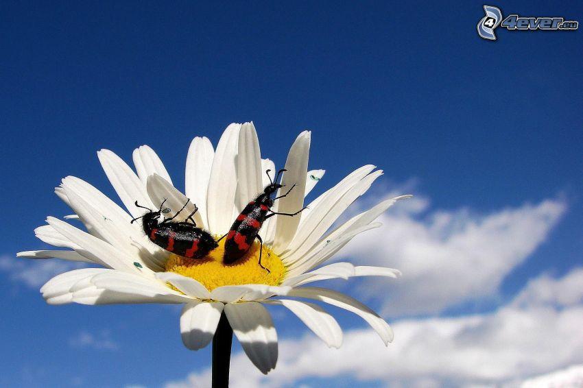 coléoptères, marguerite