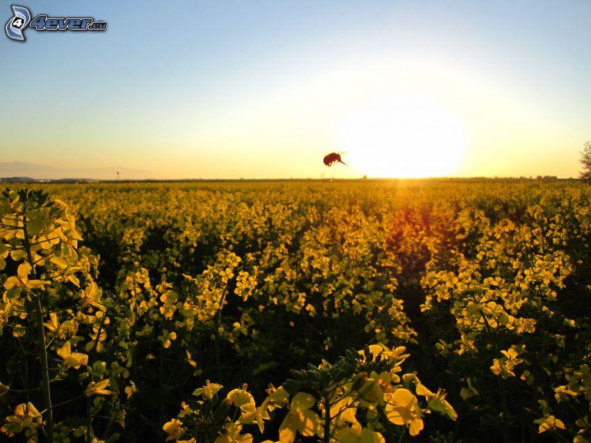 fleurs jaunes, champ, abeille, lever du soleil