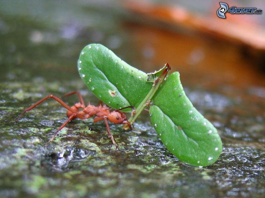 fourmi, feuille verte