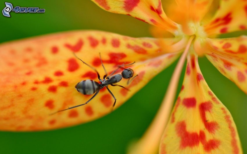 fourmi, fleur, macro