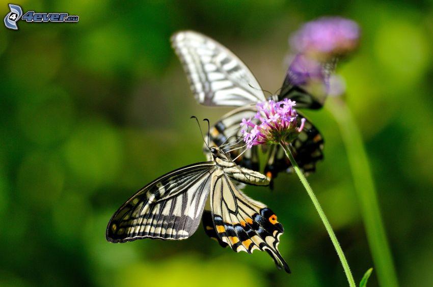 Machaon, fleur violette, macro