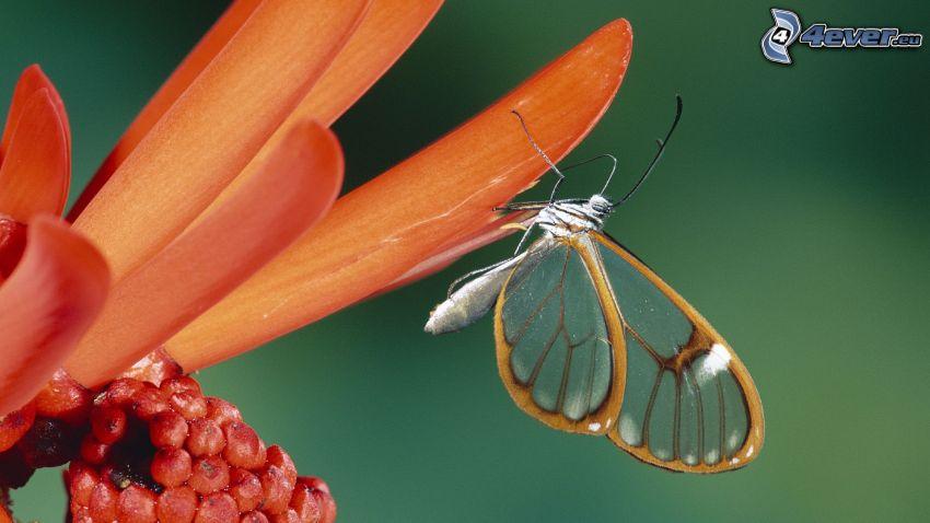 papillon, fleur orange