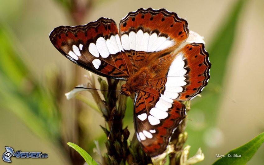 papillon, macro, fleur