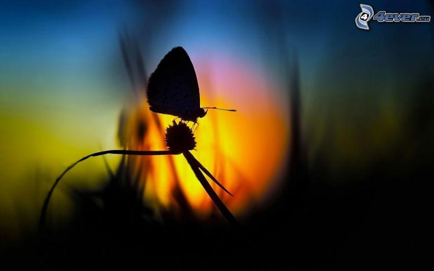 papillon, silhouettes