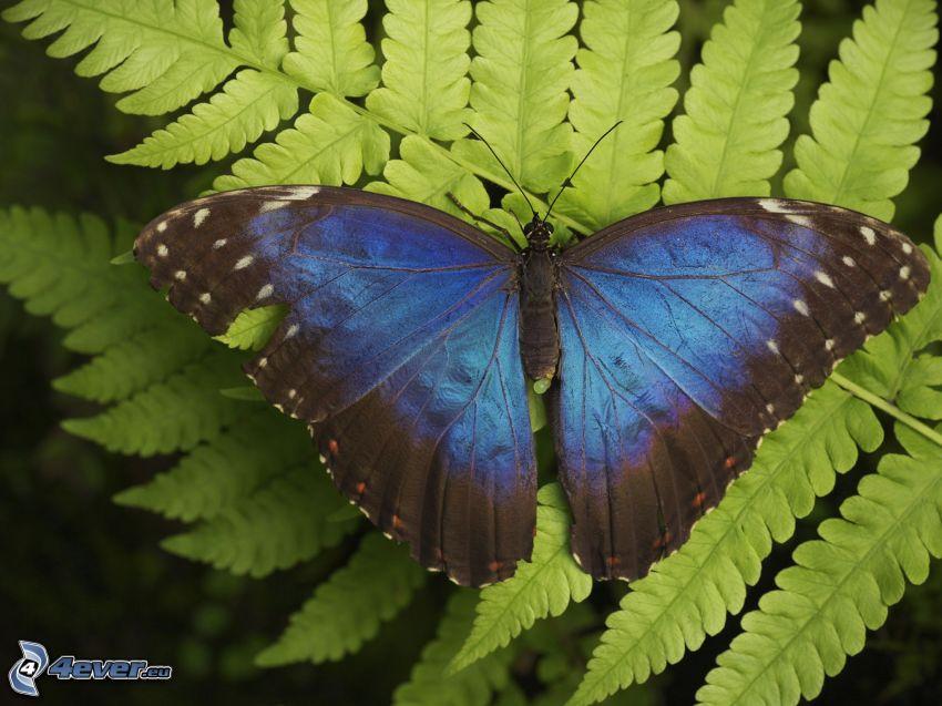 papillon bleu, fougère