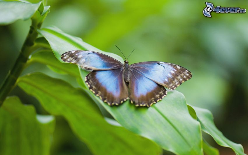 papillon bleu, plante