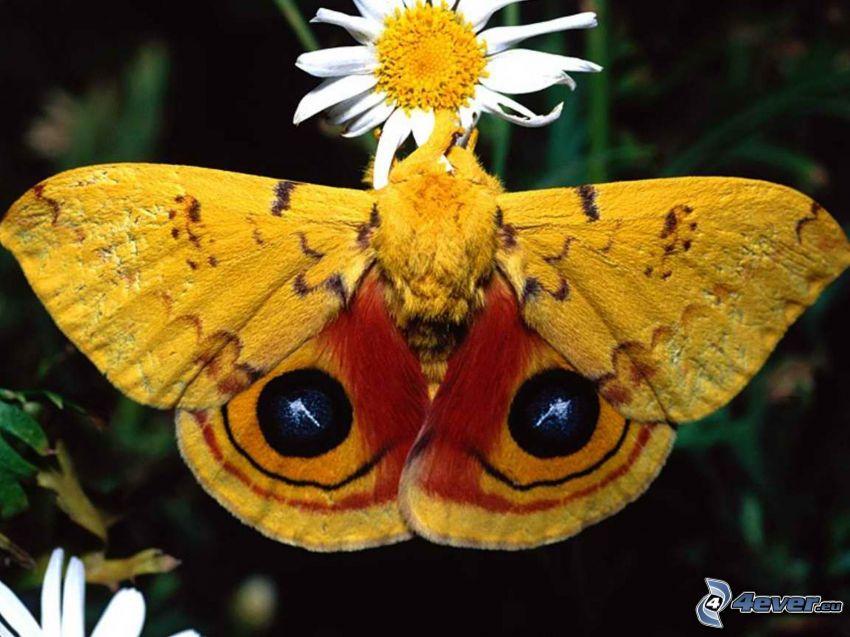 papillon jaune, fleur