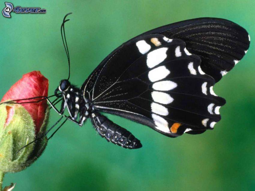 papillon noir, fleur