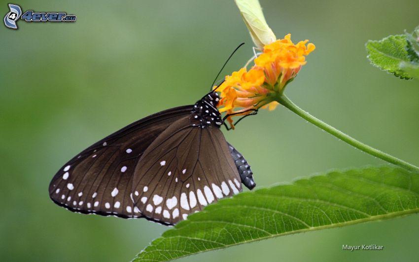 papillon noir, fleur orange