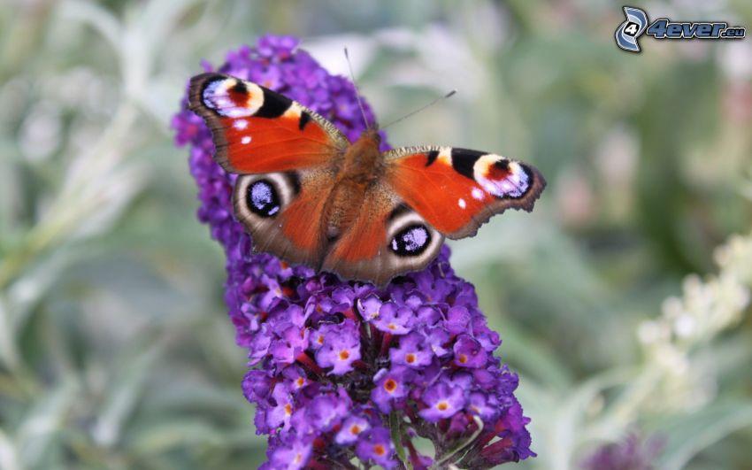 papillon Paon, fleur violette