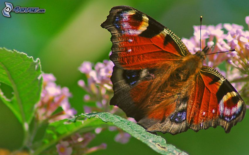 papillon Paon, macro, fleur violette