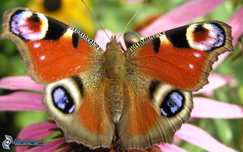 papillon Paon, papillon sur fleur