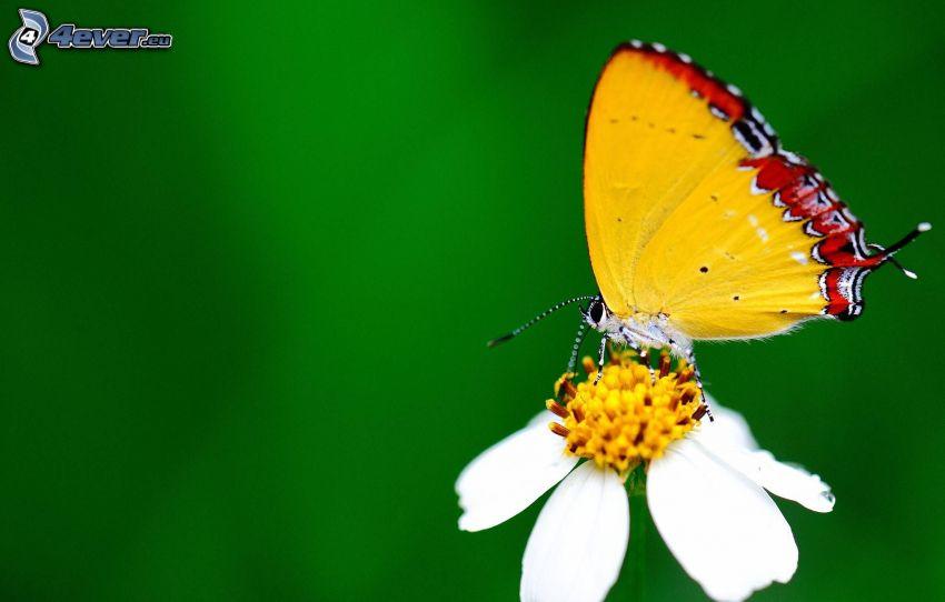 papillon sur fleur, fleur blanche, macro