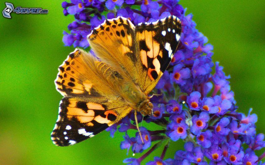 papillon sur fleur, fleur bleue, macro