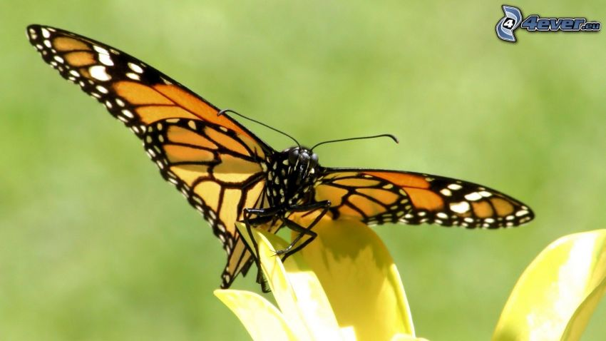 papillon sur fleur, fleur jaune, macro