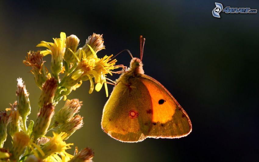 papillon sur fleur, fleur jaune