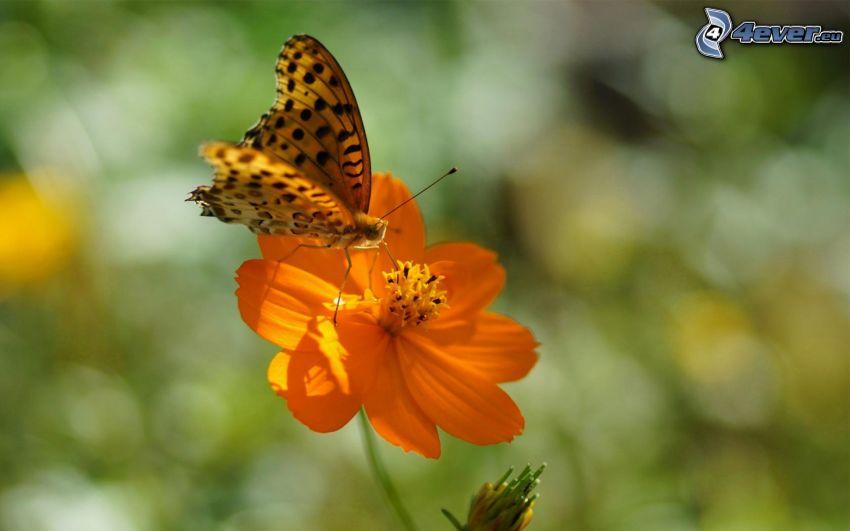 papillon sur fleur, fleur orange