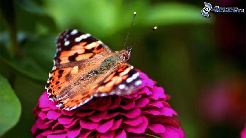 papillon sur fleur, fleur rose, macro