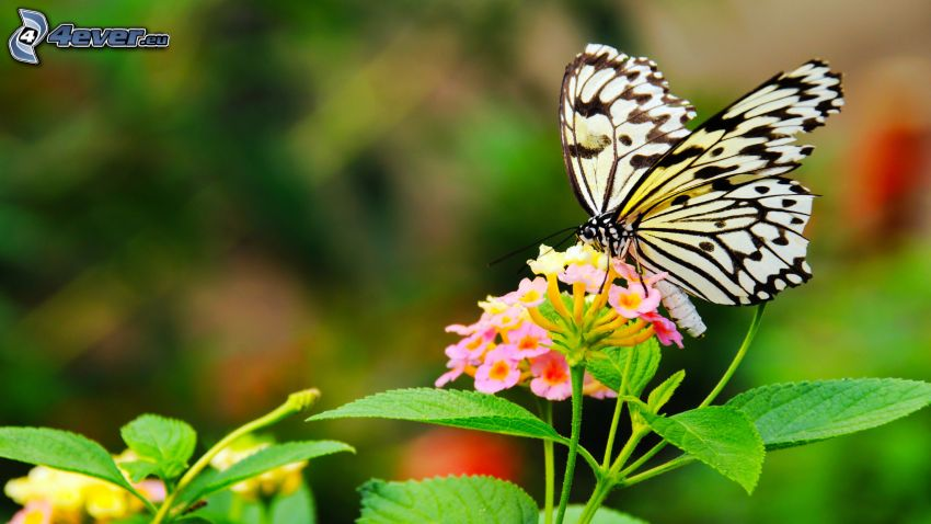 papillon sur fleur, fleur rose