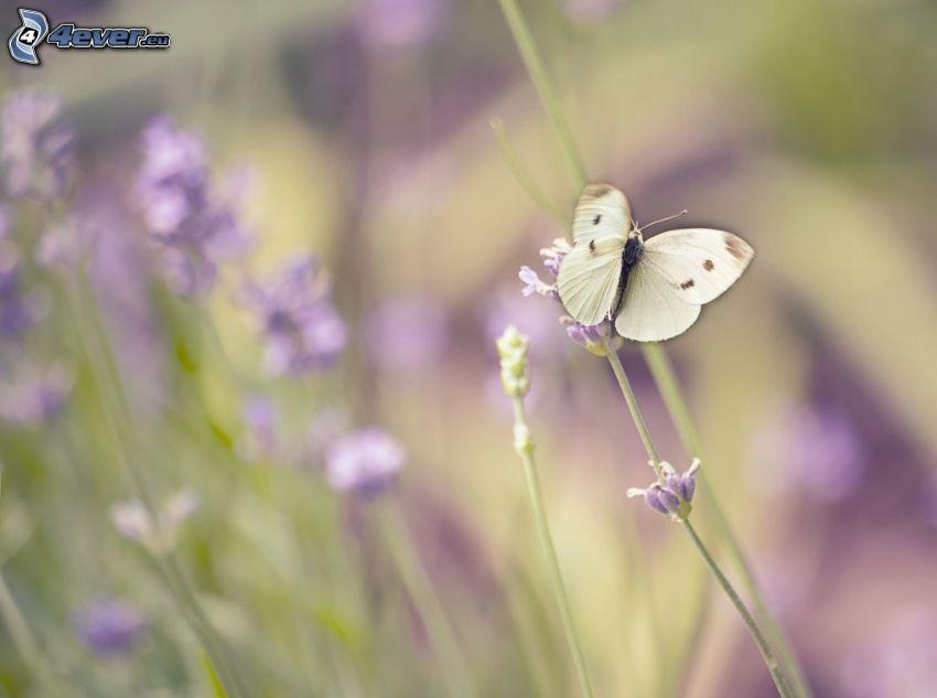 papillon sur fleur, fleur violette